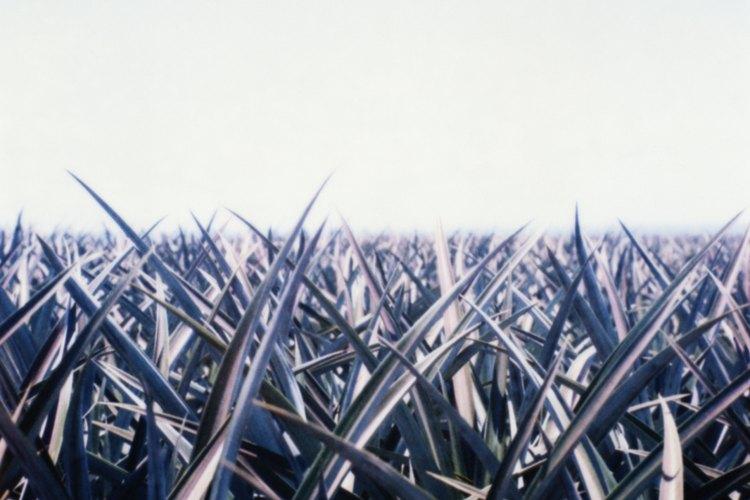 El etanol se puede hacer de muchos líquidos que contienen azúcar, como el jugo de la caña de azúcar.
