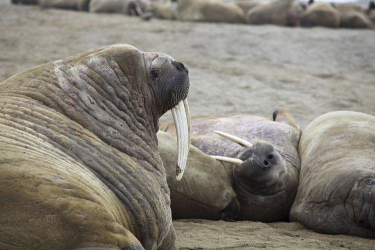 lLa policía recientemente rompió un anillo de tráfico de mamíferos marinos que estaba vendiendo ilegalmente colmillos.