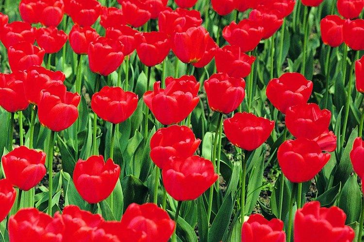 Basta con crear concentraciones de flores sencillas de un sólo color, para crear un lecho espectacular.