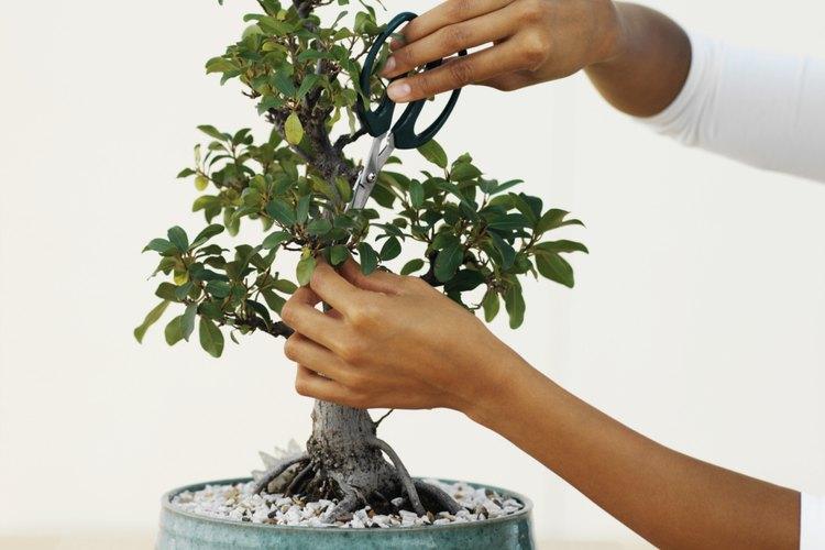 La poda apropiada es esencial para el crecimiento saludable del bonsai cerezo.