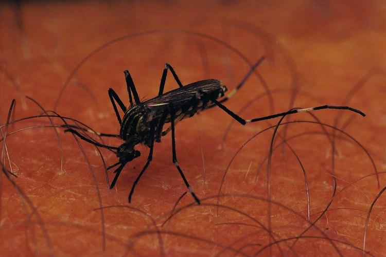 Los mosquitos pueden causar reacciones alérgicas graves en algunas personas.