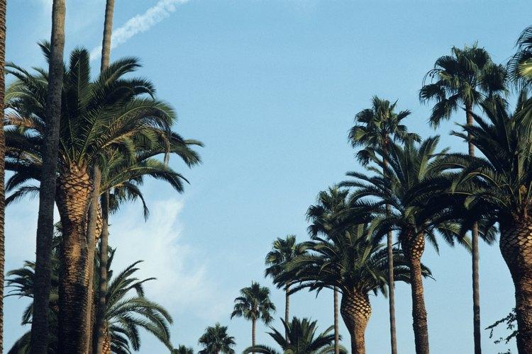 Las palmeras datileras de las Islas Canarias requieren de un área grande de crecimiento.