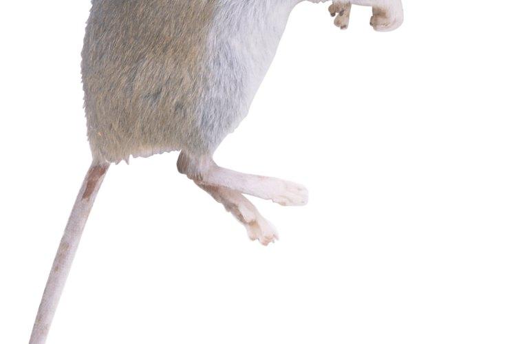 El venevo matará a los ratones