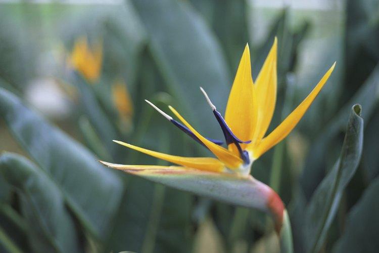 Si tienes paciencia, trata de cultivar el ave del paraíso a partir de las semillas.