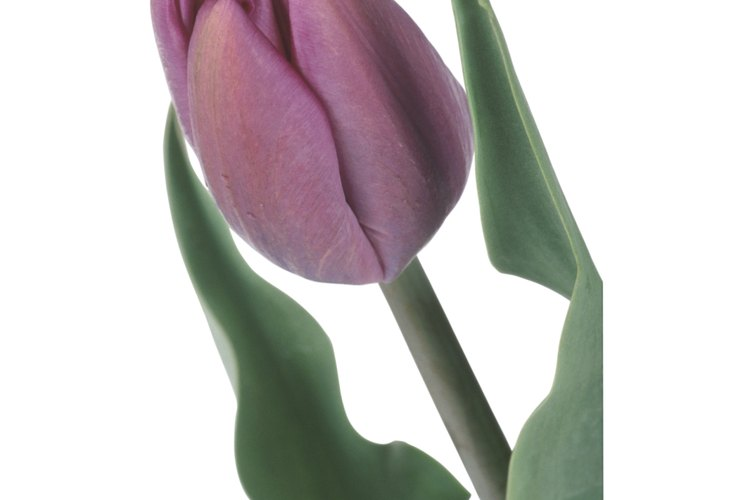 Un tulipán en maceta requiere cuidados específicos para sobrevivir.