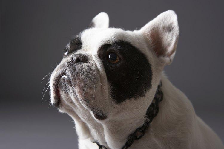 El Bulldog francés es una gran mascota, pero necesita muchos cuidados.