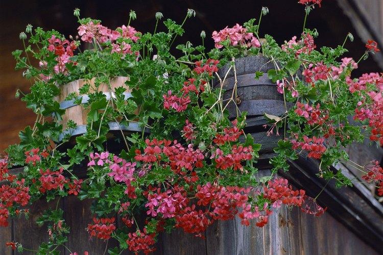 Los geranios son flores populares que pueden crecer en macetas o jardín.