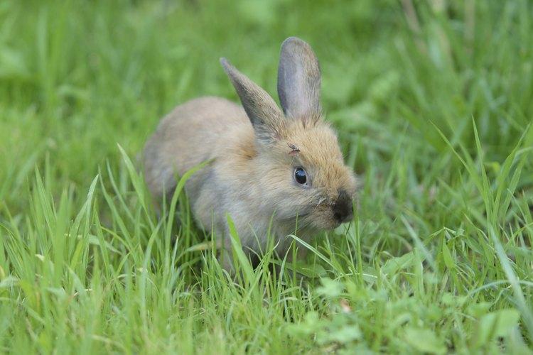 Siempre supervisa a tu conejo mascota cuando lo dejas afuera.
