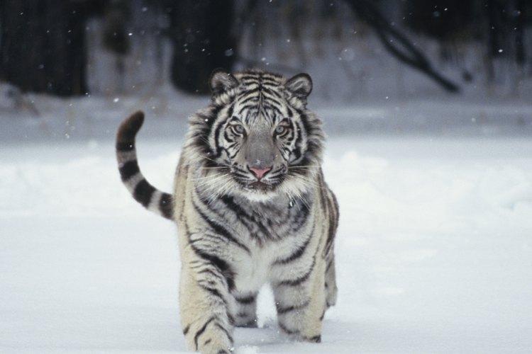 Los tigres blancos nacen de manera natural solamente una vez en cada 10.000 nacimientos.