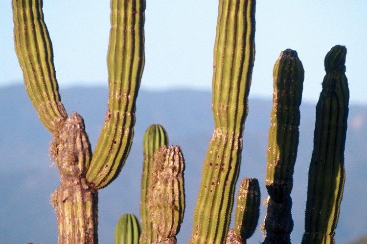 Cactus en el desierto de Chihuahua.
