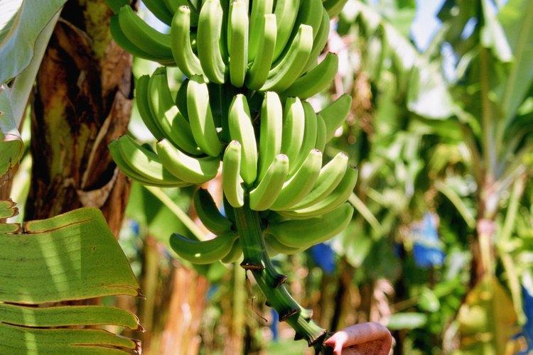 Los plátanos son comunes en los trópicos.