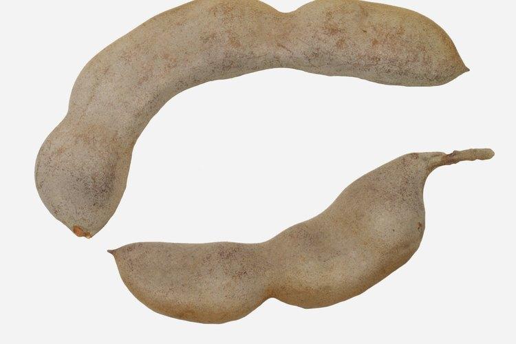 El árbol de tamarindo (Tamarindus indica) es un miembro de la familia de las leguminosas.