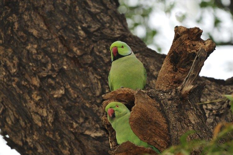Un par de cotorras de Krames sentadas en un árbol.