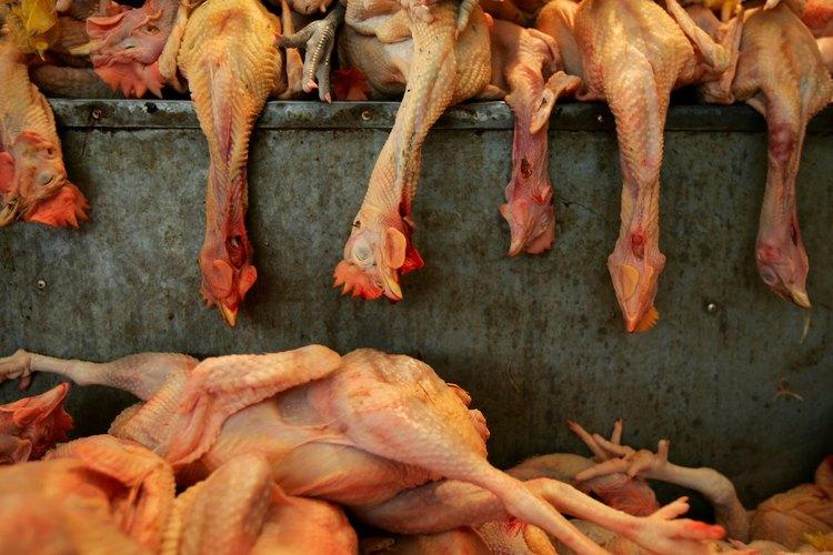 El aturdimiento hace que la mayoría de los pollos estén inconscientes antes de la muerte.