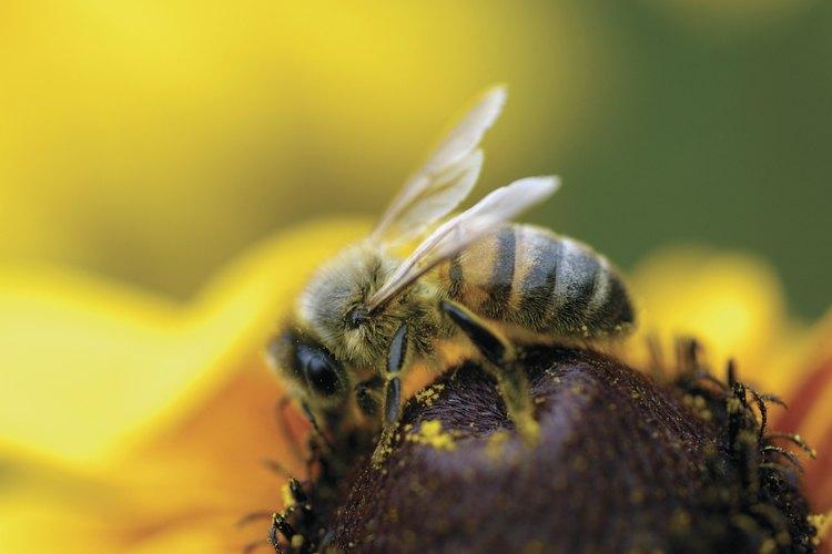 """Como muchos animales, las abejas productoras de miel tienen varias razas llamadas """"poblaciones""""."""