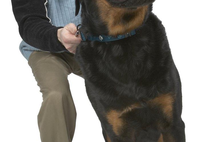 Los Rottweilers pueden sufrir de sobrepeso si los dueños no los cuidan bien.