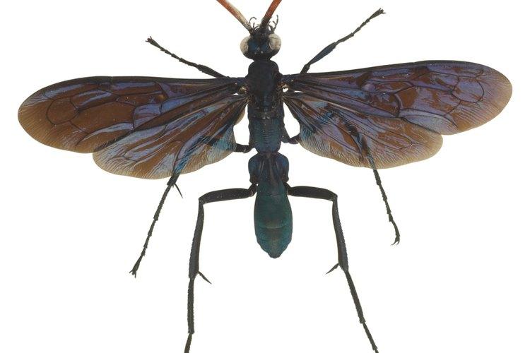 La avispa caza tarántulas puede crecer hasta 5,1 cm de largo.