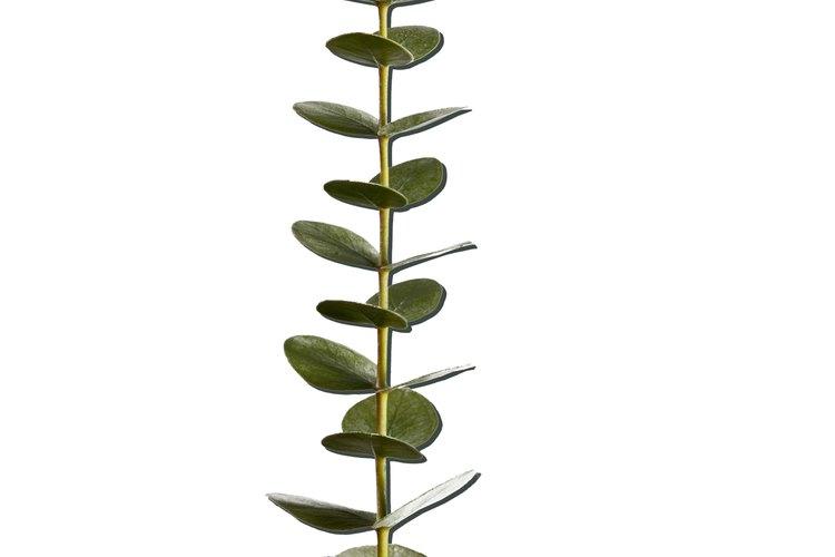 Las hojas de eucalipto son tóxicas para animales y humanos.
