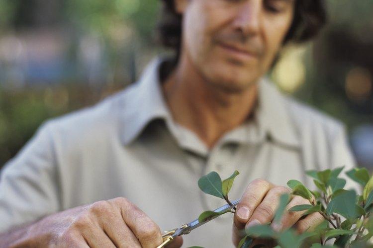 Cultiva mangles con la técnica de bonsai.