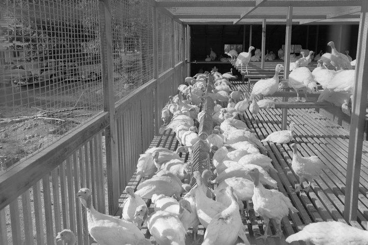 Un corral puede ser cubierto o tener un piso de rejilla para mantener a los pollos sanos y seguros.