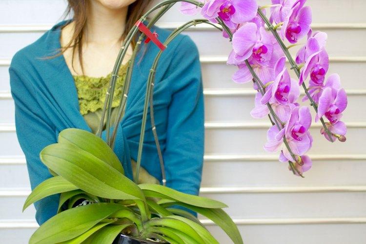 Las orquídeas pesadas pueden romper su tallo si se apoyan correctamente.