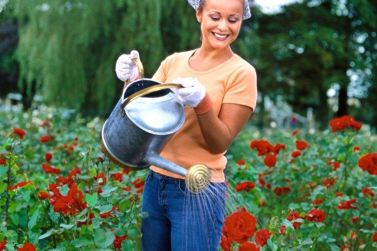 Cuando se trata de comida, esas rosas de aspecto frágil que posan delicadamente en el jardín tienen un gran apetito.
