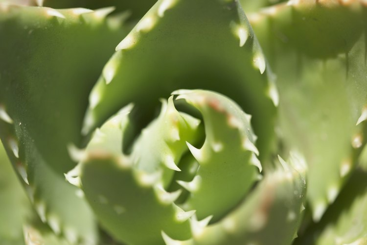 Las hojas carnosas de las suculentas les permiten prosperar al sol.