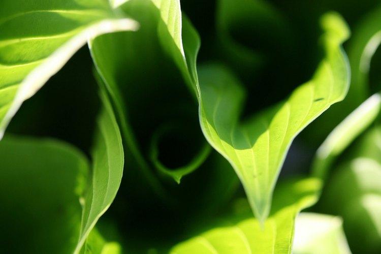 Las plantas son de color verde debido a la reacción química de la fotosíntesis.