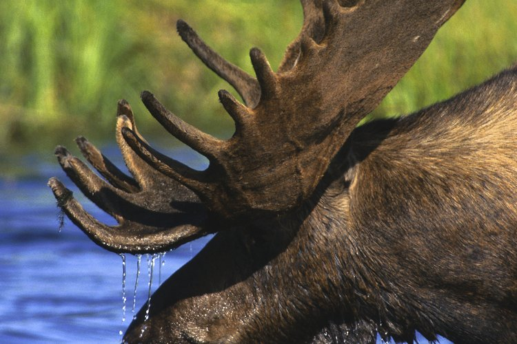 Un alce salvaje en los pantanos.