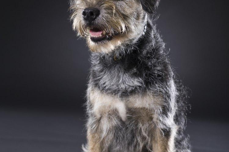 Un terrier adulto jadeando.