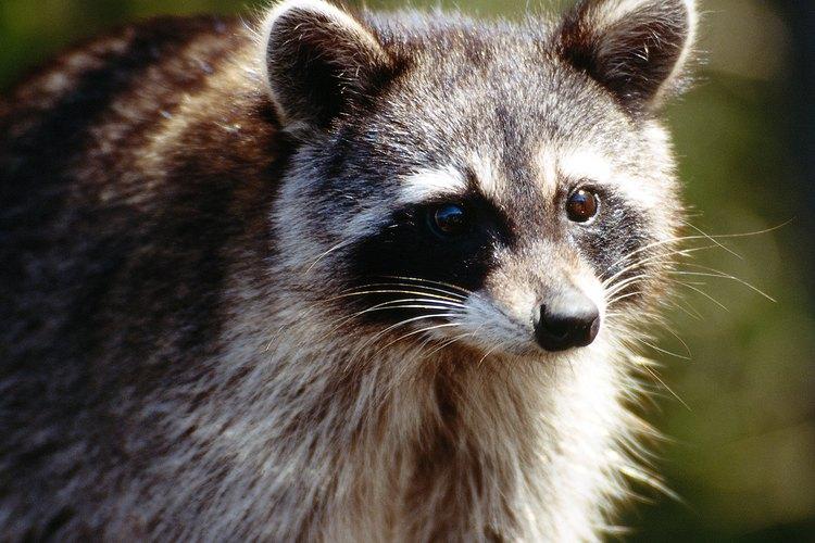 Coloca reflectores en tu patio para evitar que entren los mapaches.