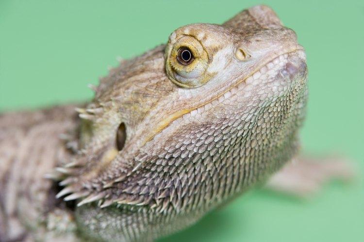 Si se cuidan apropiadamente, los dragones barbudos del este pueden vivir tanto como un gato o un perro.