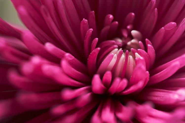 Los crisantemos están disponibles en una gran variedad de colores.