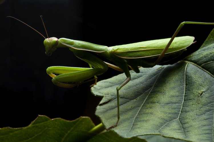 Las mantis religiosas unen sus patas delanteras para prepararse para un ataque.