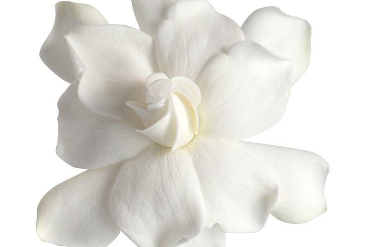 Las flores de gardenia desprenden fragancias dulces.