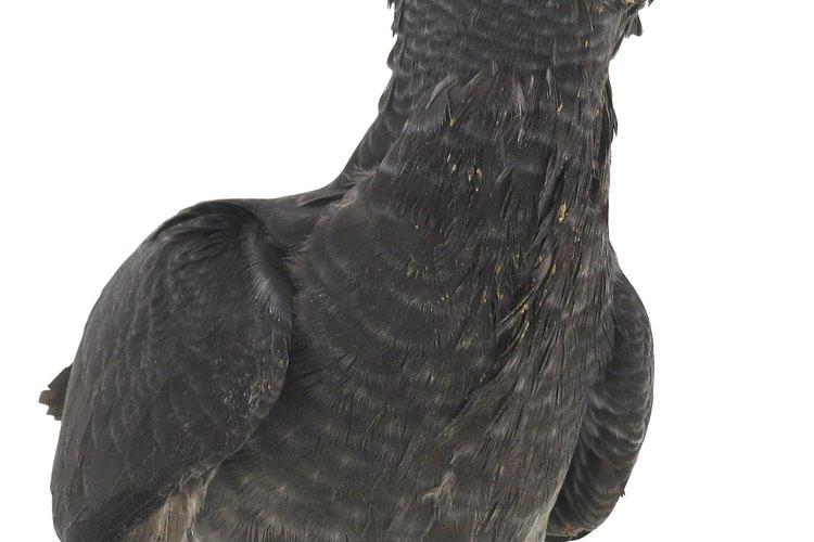Existen diversos métodos para alejar a las cacatúas pequeñas del nido.