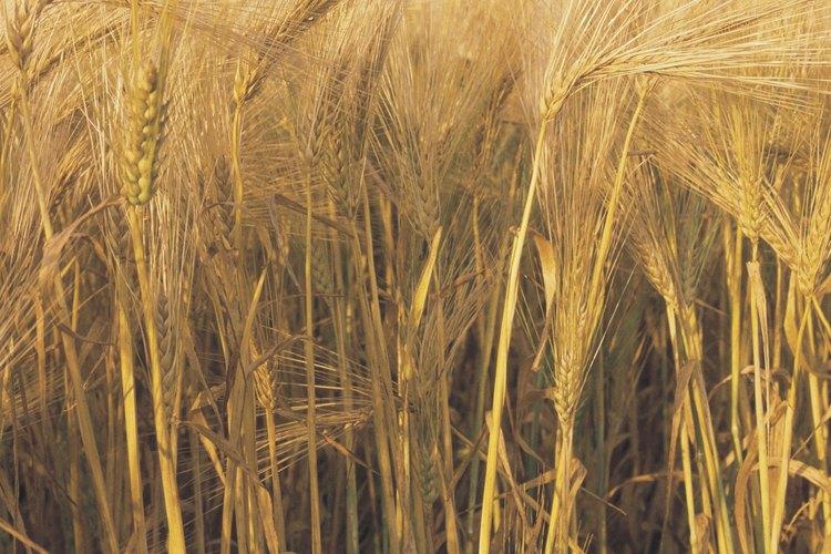 Tanto el trigo como la cebada tienen puntos de referencia geográficos.