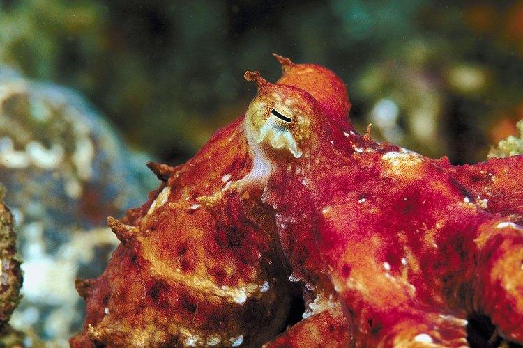 El pulpo rojo es nativo de la costa pacífica de Estados Unidos.