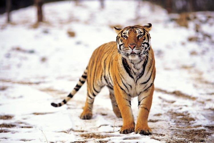 Los tigres cazan a sus presas en la naturaleza, en el calor o nieve.