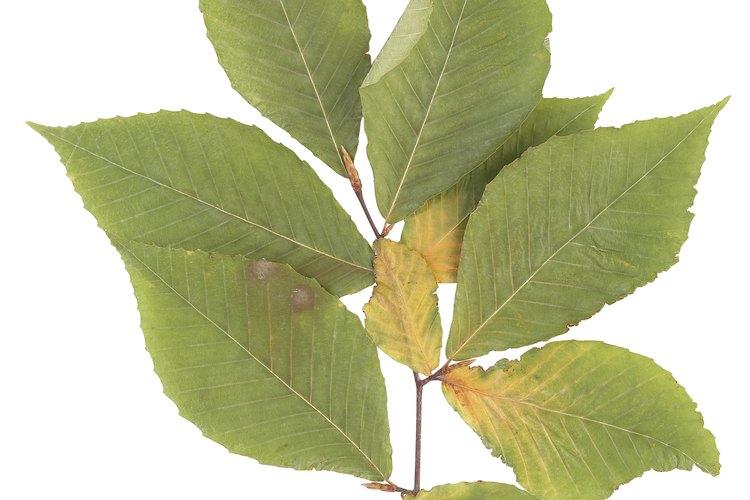 La madera de aliso a menudo proviene del Alnus glutinosa, o aliso común.