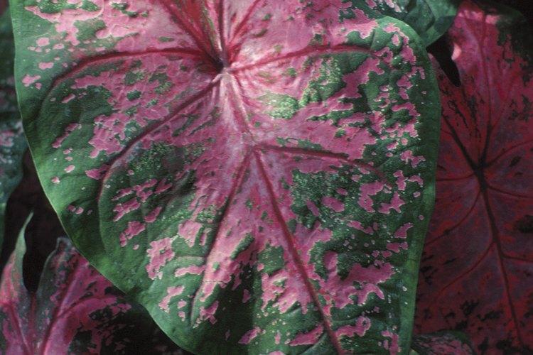 El caladio es una planta con hojas en forma de corazón que es colorida y fácil de cultivar.