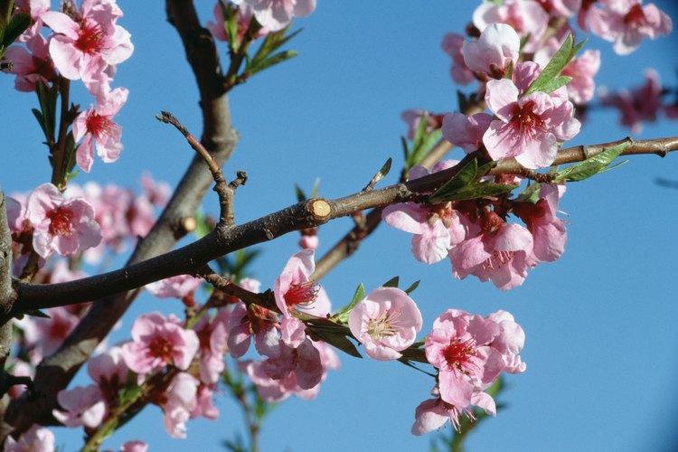 El duraznero florece desde finales del invierno hasta mediados de la primavera, según su ubicación.