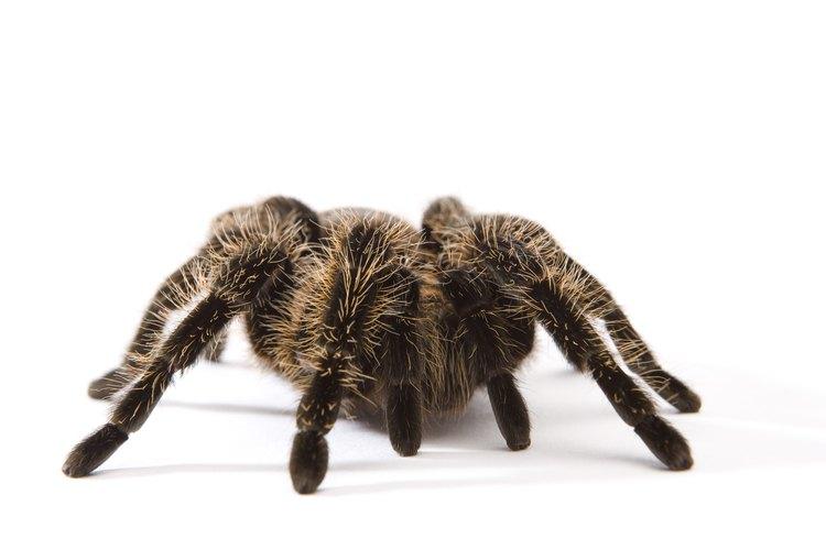 Las arañas vienen en muchos tamaños y colores.
