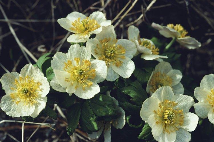 Las anémonas son un favorito de los jardineros.