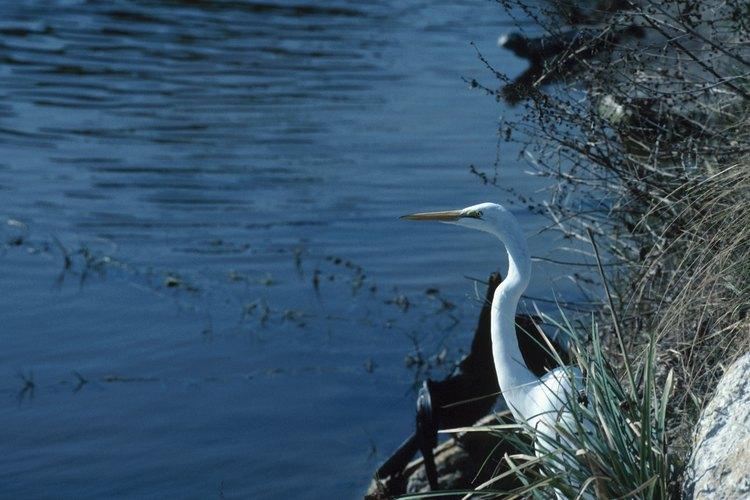 Las aves en los Everglades se clasifican en aves limícolas, aves terrestres y aves de caza.
