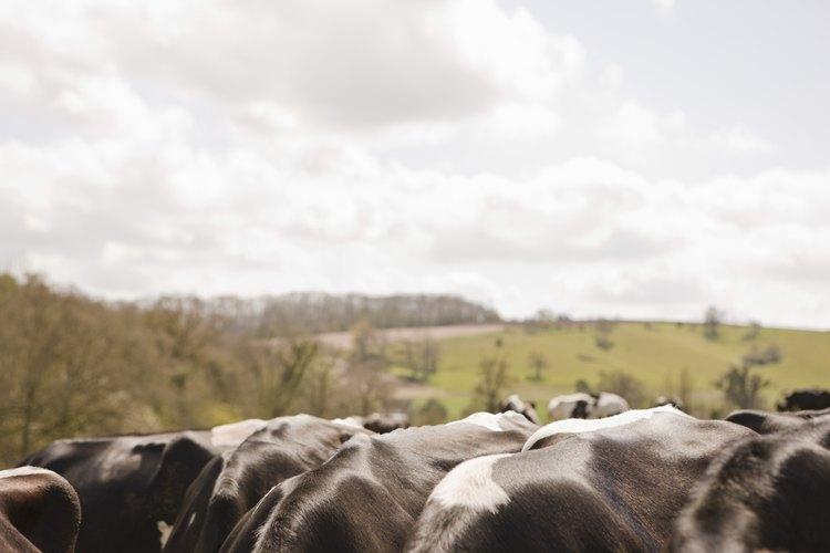 Los bovinos son animales robustos adaptados a las praderas planas y los pastos de la sabana.