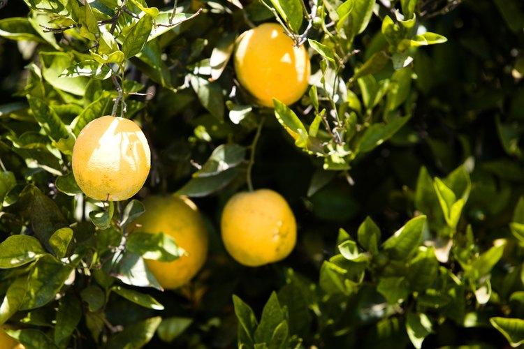 Se cultivan naranjas en muchos lugares del mundo.