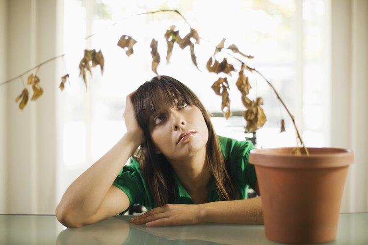 Una planta que ha dejado de crecer y con características de hojas oscurecidas no está necesariamente muerta.