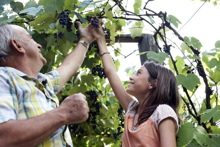 Las uvas son de las muchas frutas que crecen en enredaderas.