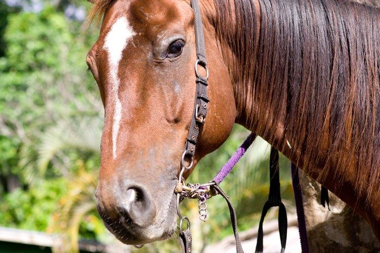 La wolfsbane puede ser mortal para los caballos que ingieren menos de un 0.1% de su peso corporal.